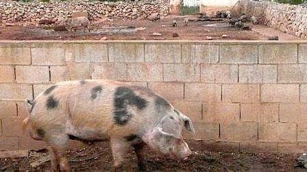 Domestic pigs in Menorca